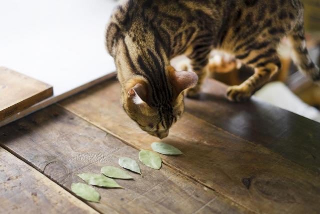 猫がローリエのにおいをかいでいる画像