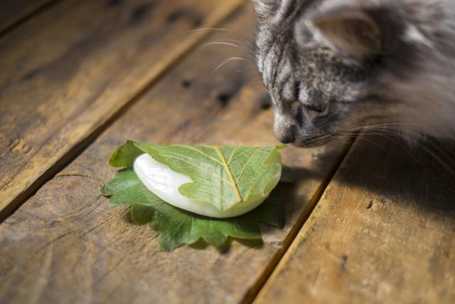 猫が柏餅のにおいをかいでいる画像