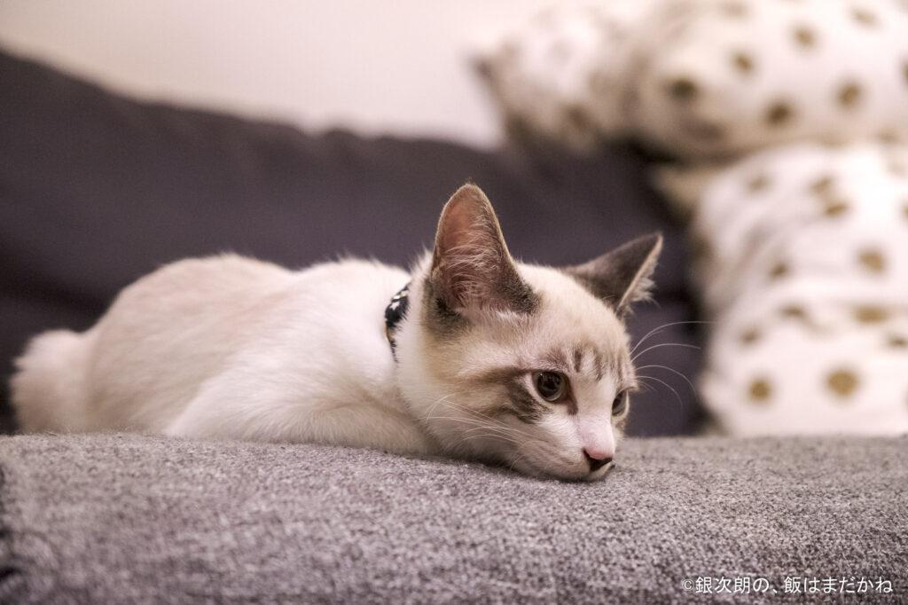 ひとりでソファーにいた猫の画像