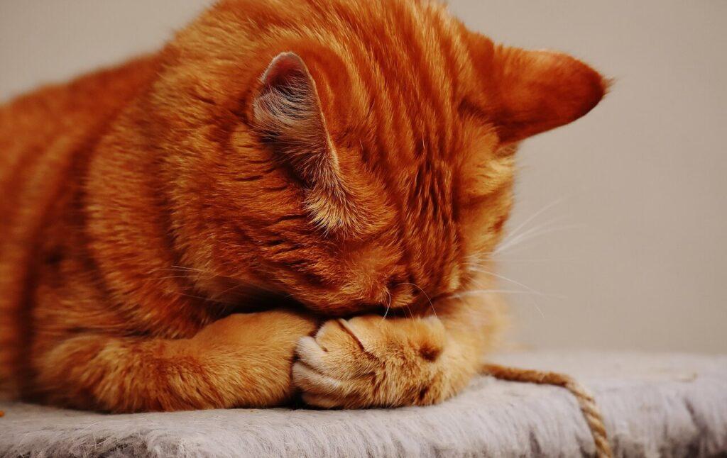 ごめん寝している猫